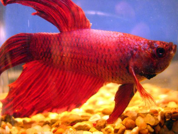 1024px-Red_betta_fish